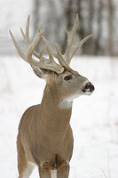 Huge Buck Picture