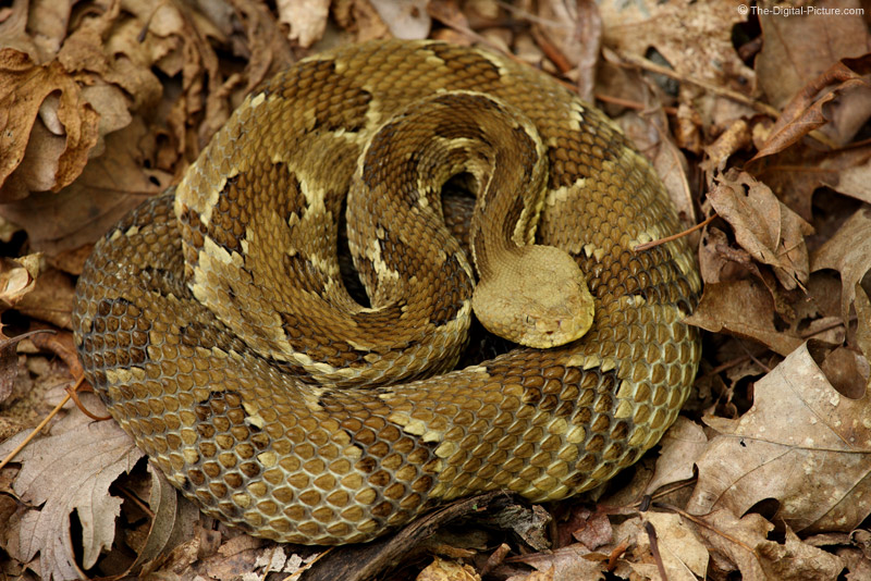 Timber Rattlesnake Picture