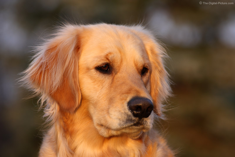 Golden Retriever Head Shot