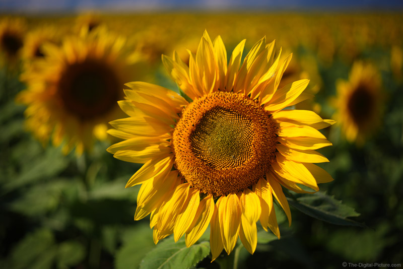 Sunflower With Blurred Background