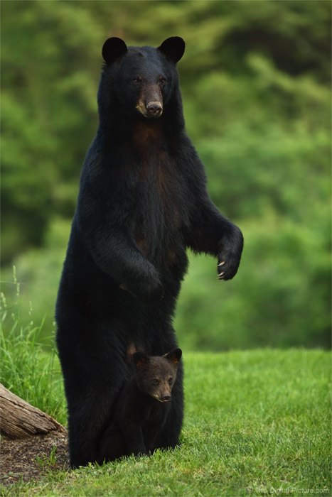 The Definition Of Quot Safe Quot Pa Black Bear Mother And Cub