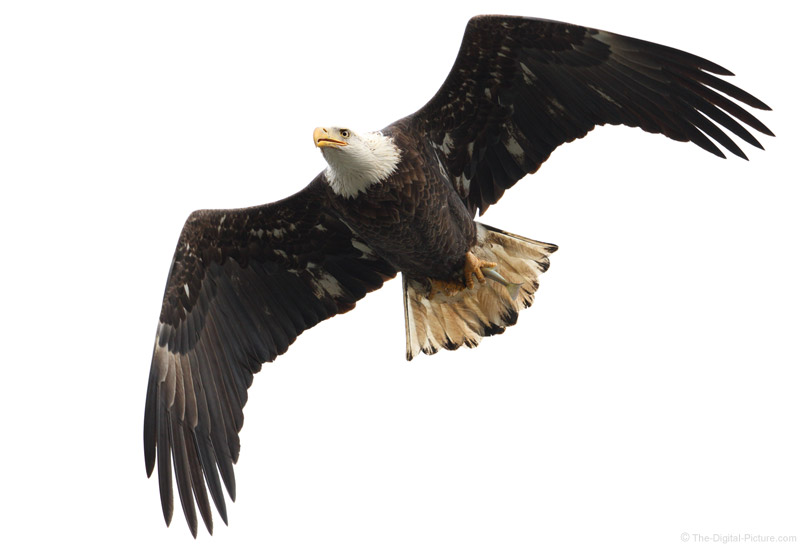 Bald Eagle Flying With A Fish