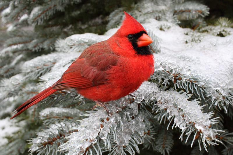 Cardinal Sitting On Snowy Spruce Branch