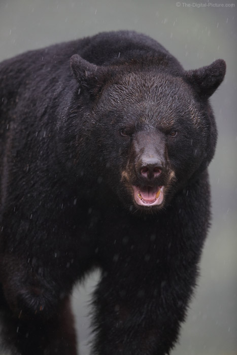 Angry Pennsylvania Black Bear In The Rain