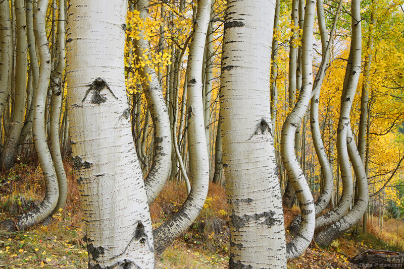 Curved Aspen Trees Of Ophir Colorado